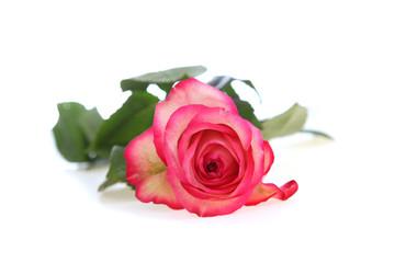 Bbeautiful pink rose