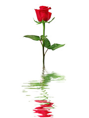 Red rose reflected in water isolated on a white background.