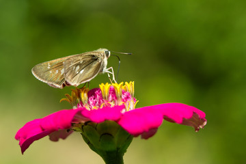 butterfly on pink Zinnia