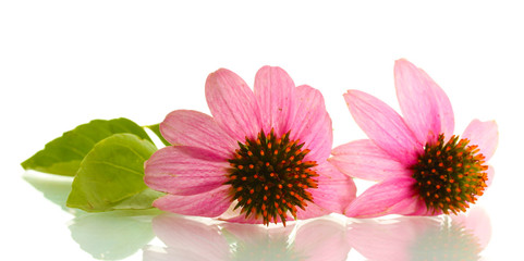Purple echinacea, isolated on white Wall mural