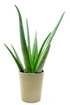 Aloe vera plant in the pot