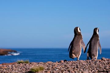 Magellanic Penguin, Argentina, Patagonia