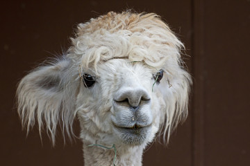 Confused white alpaca (Vicugna pacos) with grass in her hair
