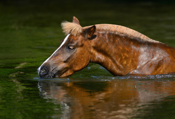 Wall Mural - Sorrel Highland pony drinking in a pond