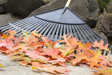 Raking Fallen Oak Leaves Closeup
