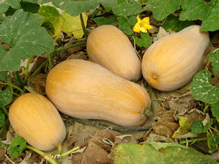 butternut squashes on vine