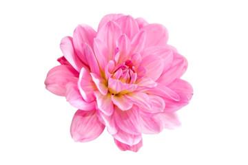 pink dahlia flowers image