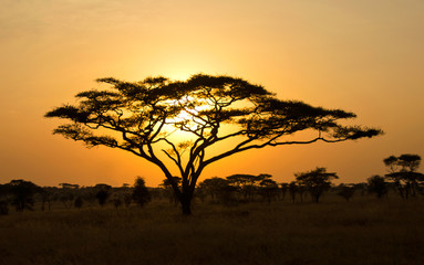 Deurstickers Afrika Rising Sun shinning through an Acacia Tree in Serengeti