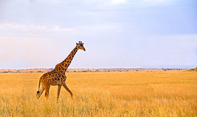 Single Giraffe walking in the Serengeti National Park
