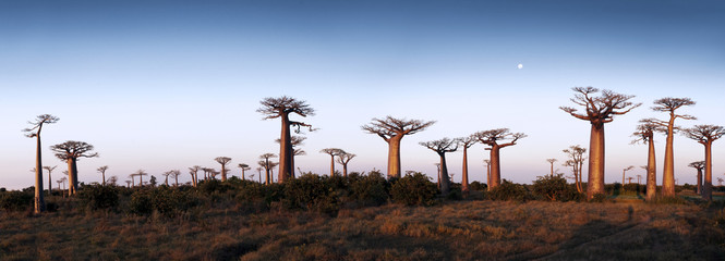 In de dag Baobab Avenue of the Baobabs