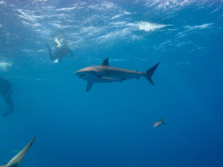 Wall Murals Dolphins Silky shark (Carcharhinus falciformis) and diver