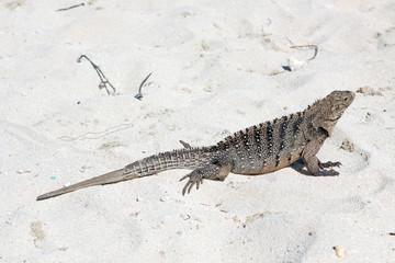Cyclura nubila, Cuban rock iguana, Cuban ground iguana