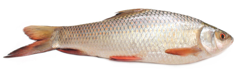 Popular Rohu or Rohit fish of Indian subcontinent