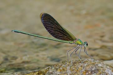 Neurobasis chinensis, male, Green Metalwing damselfly