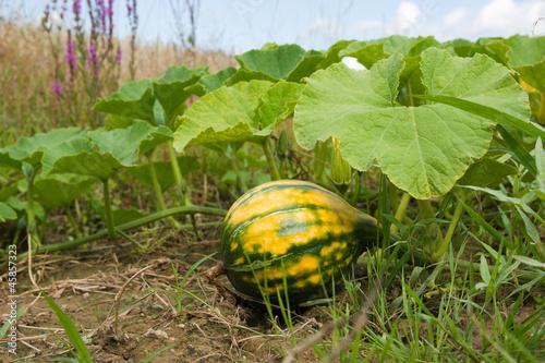 Kurbispflanze Mit Kurbis Stockfotos Und Lizenzfreie Bilder Auf