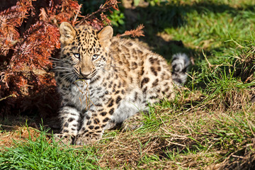 Wall Mural - Cute Baby Amur Leopard Cub Chewing Grass