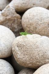 green grasshopper on a stone