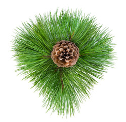 Pine cone in the green branches of pine needles.