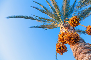 Date-palm tree above bright clear blue sky