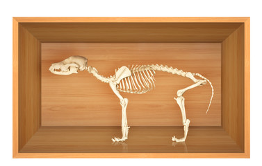 Skeleton of dog