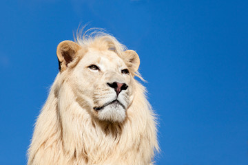Wall Mural - Head Shot Portait of Majestic White Lion against Blue Sky