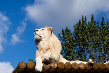 Wall Mural - White Lion on Wooden Platform Looking Up at Blue Sky