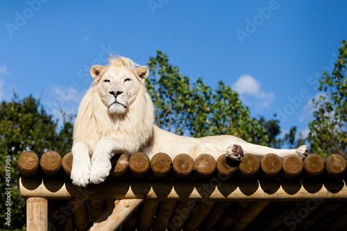 Wall mural White Lion lying on Wooden Platform in the Sunshine