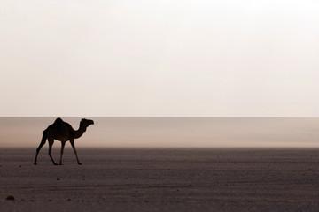 Foto op Aluminium Algerije Camel in the desert