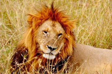König der Savanne