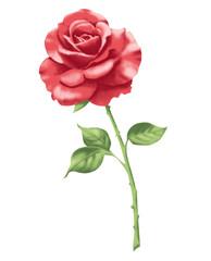 Rose rot 2