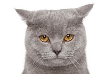 Wall Mural - Angry British Shorthair cat