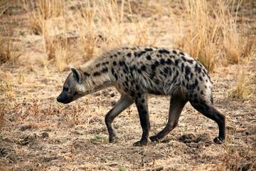 Foto auf Acrylglas Hyane spotted hyena