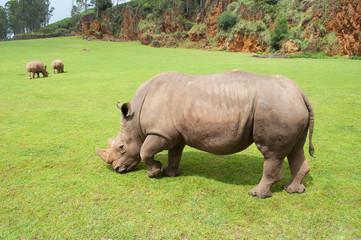 rhinoceros eating grass peacefully