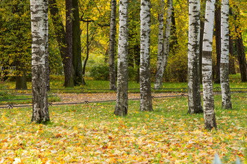 Aluminium Prints Birch Grove birch trees in the park with maple leaves