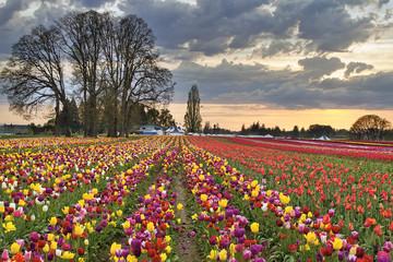 Sunset Over Tulip Flower Farm in Springtime
