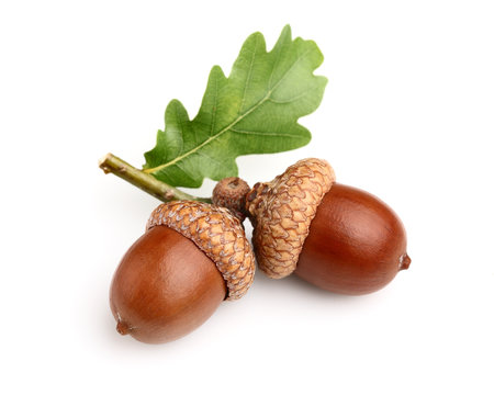 Dried acorns with leaf