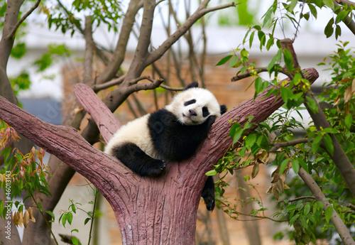 Wall mural Sleeping giant panda baby