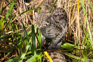 Wall Mural - Fishing Cat Hunting in Long Grass