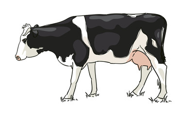 The white and black cow is grazed