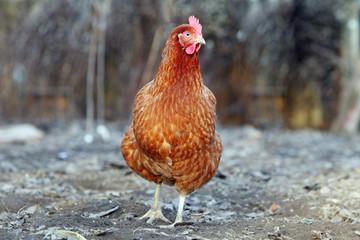 Chicken in nature