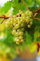 Vitis vinifera Weiße Trauben