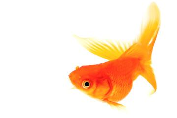 赤い金魚 上昇・旋回中の魚