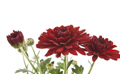 red chrysanthemum