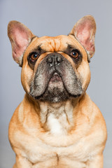 Brown french bulldog. Funny dog. Comic character.