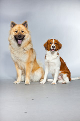 Eurasier dog and Kooiker hound together. Studio shot isolated