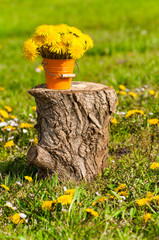 Fototapete - Löwenzahn, sonniger Blumengruß, im Frühling, Taraxacum