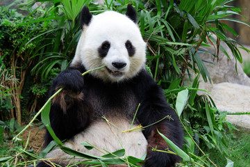 Fotorollo Pandas giant panda bear eating bamboo