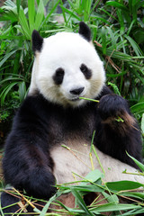 Wall Mural - giant panda bear eating bamboo