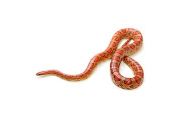 Corn snake on the white background (Elaphe guttata)