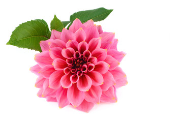 Large pink flower dahlia